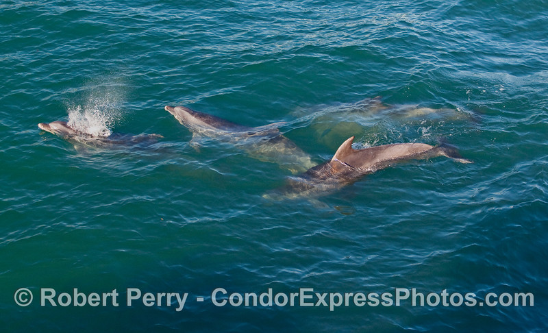 Four playful Bottlenose Dolphins (Tursiops truncatus).