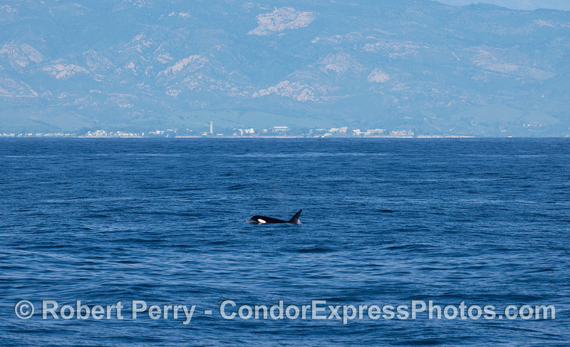 A Killer Whale (Orcinus orca) with UCSB in the background.