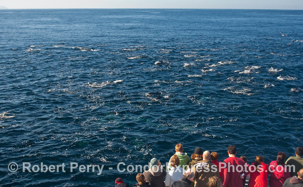 Whalers on board the Condor Express are surrounded by Common Dolphins (Delphinus capensis).