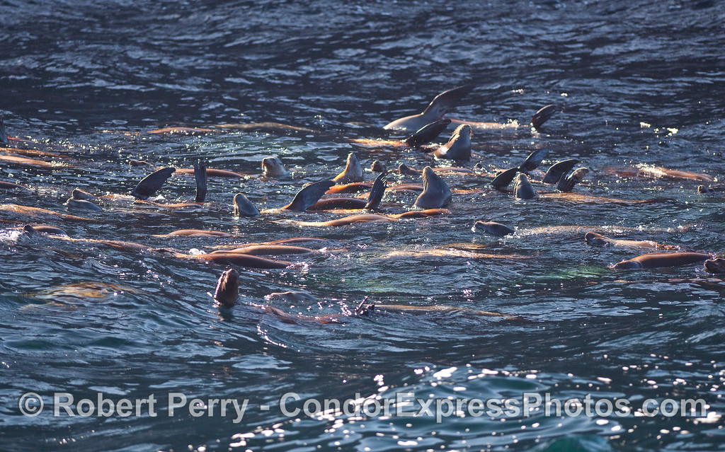 A raft of California Sea Lions (Zalophus californianus) relax on water near Santa Cruz Island.