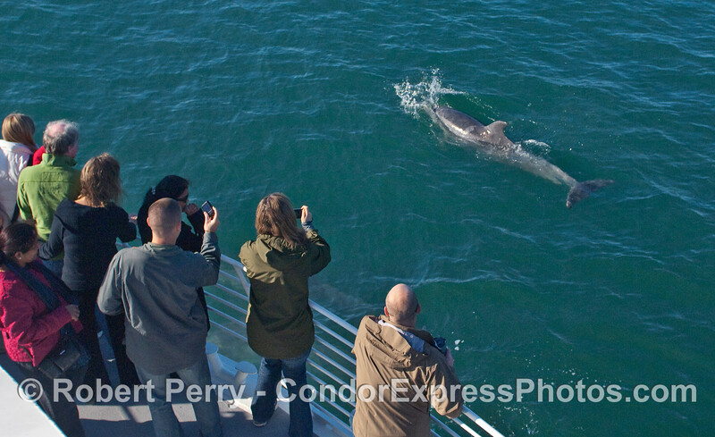 A well-photographed Bottlenose Dolphin (Tursiops truncatus).