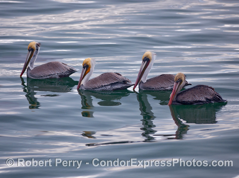 Four Brown Pelicans on a glassy surface (Pelecanus occidentalis).