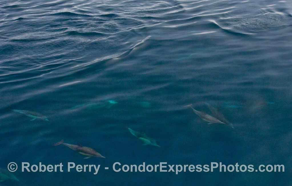 Wide angle view of Common Dolphins (Delphinus capensis) doing their underwater magic.