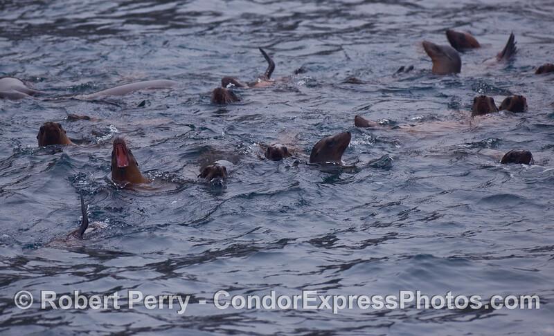 More fun than a barrel of California Sea Lions (Zalophus californianus).