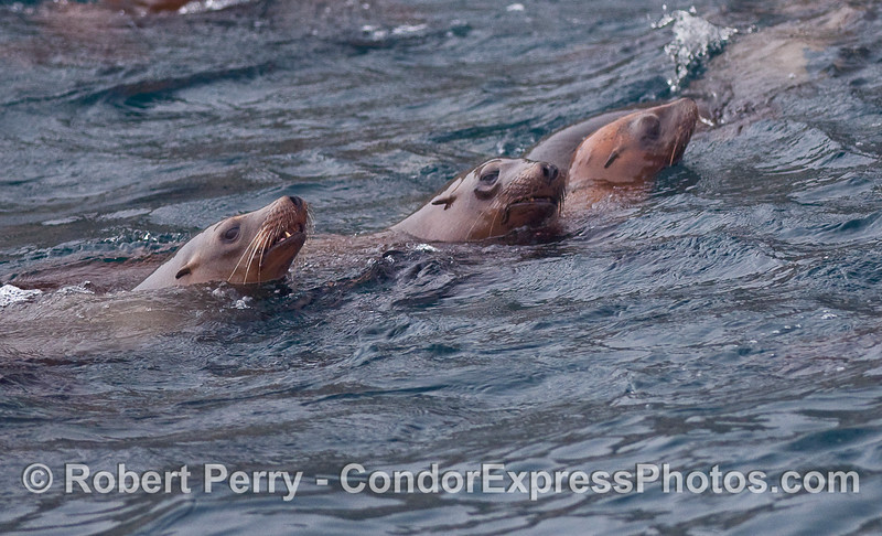 Los tres amigos - California Sea Lions (Zalophus californianus).