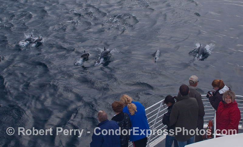 Whalers get a first hand look at a herd of Common Dolphins (Delphinus capensis).