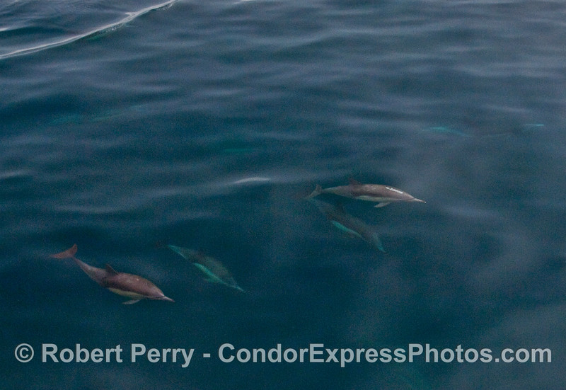 More Common Dolphins (Delphinus capensis) viewed in an underwater panorama.