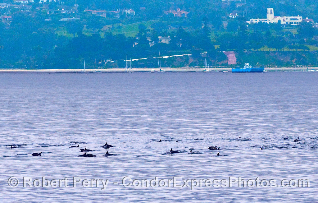 A herd of Common Dolphins (Delphinus capensis) off East Beach, Santa Barbara.