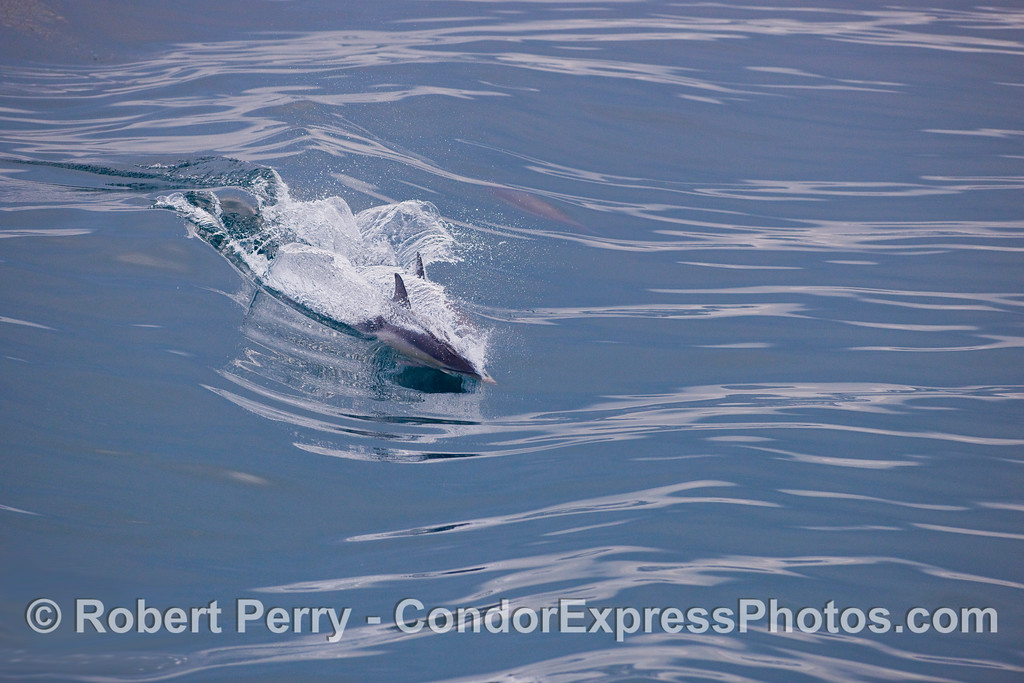 Surfin' in the rain:  Common Dolphins (Delphinus capensis) ride a glassy wave.