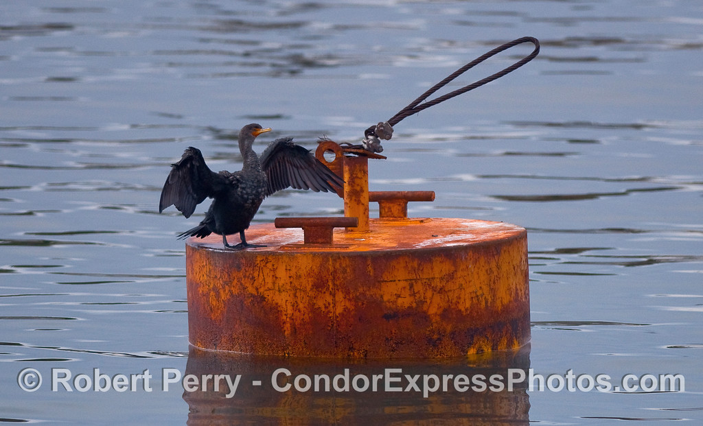 Cormorant (Phalocrocorax) on a temporary mooring can in Santa Barbara Harbor.