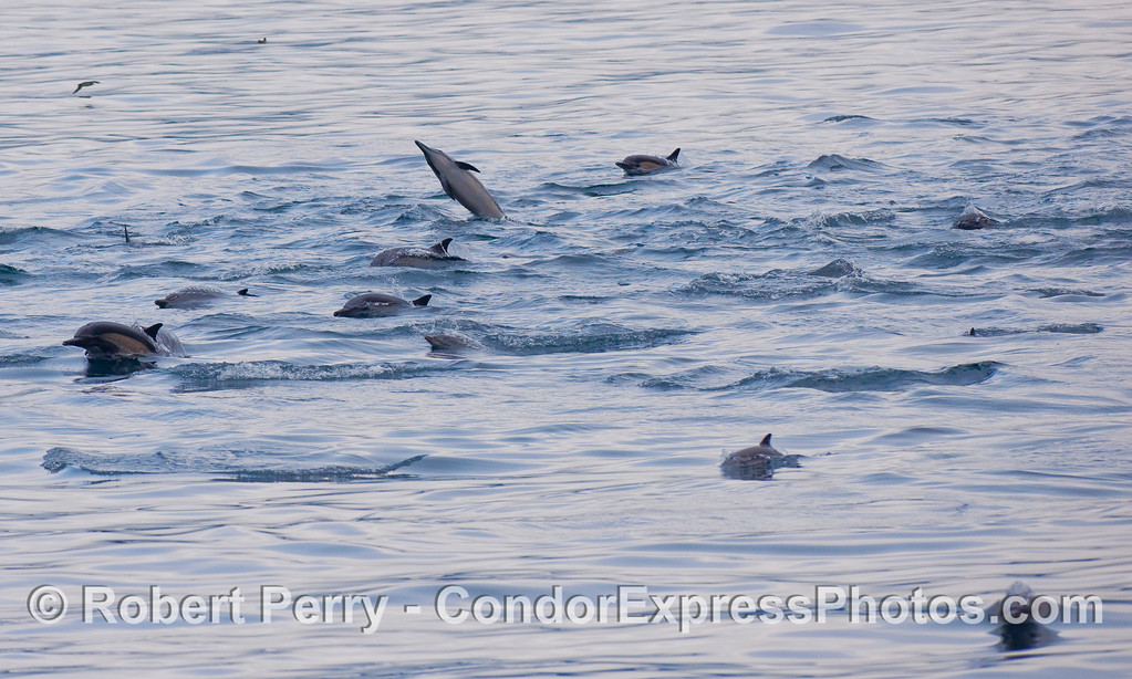 Common Dolphins (Delphinus capensis) approach the Condor Express.