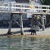 this black bear was hanging out essentially right in downtown Ucluelet