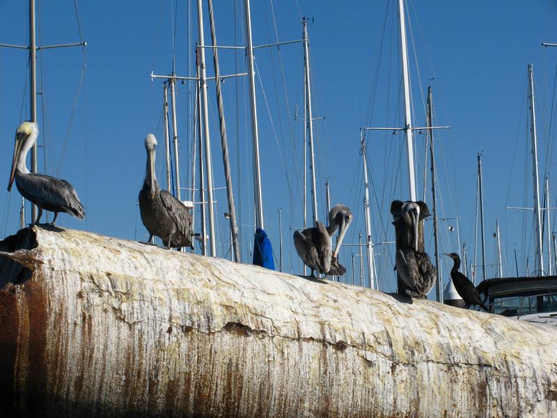 dive bombing pelicans