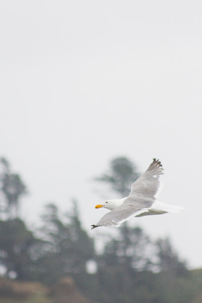 A seagull nervously circles after being spooked by my approach to its massive sheltering rock.