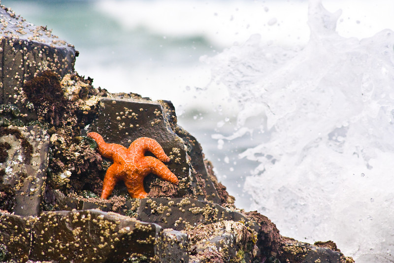 A lone starfish hides from the waves as the tide rises.  I waded into the water with waves moving past and tried different timings for this shot, and I liked a number of them, so they're all here.