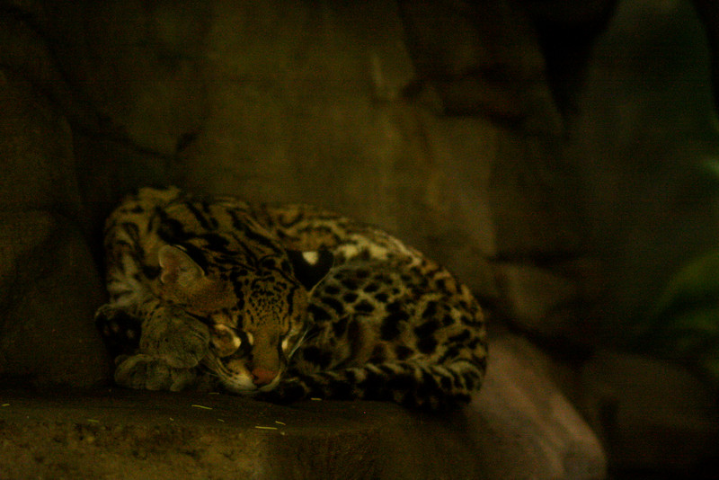 Portland's zoo is home to a few animals that are seldom seen in the wild, and although it takes away almost all of the excitement to see them in cages, they're still pretty animals.  Here an ocelot rests peacefully behind thick glass.