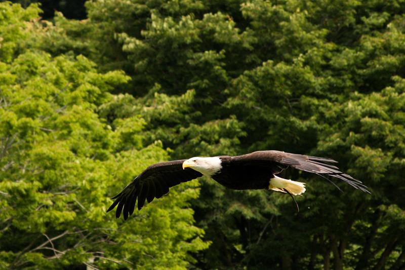 A captive Bald Eagle flies for audiences at the Portland Zoo.