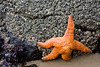 Starfish and anemones add color to the rocks all over the beach.
