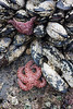 Starfish and anemones add color to the rocks all over Indian Cove.