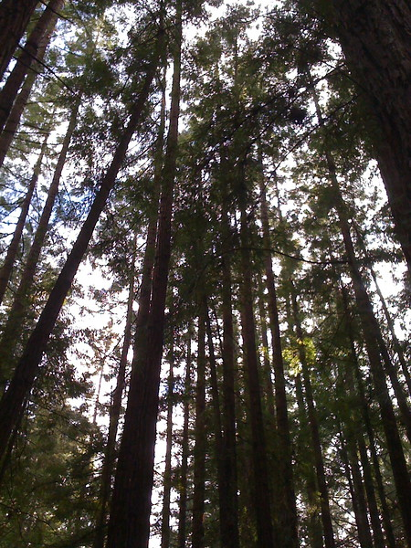 <b>redwoods</b> <br>Santa Cruz, CA <br>December 21, 2009