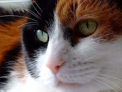 "A Rare Close up.    I am sorry to have to tell you all that our beloved Patches passed away from a chronic bowel obstruction infection.  We miss her dearly.  She was with us for 11 years and we have wonderful memories of her unique character .  Sometimes we called her ""last word Patches"".  She responded favorably to ""the oh so pretty the Patches"".  Thank you all for your wonderful comments. It makes us feel warm to know that we weren't the only ones who thought she was ""oh so pretty"". :)    Regards  Richard and Barb.  More photos of Patches  here ."