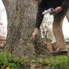 Tribune-Star/Joseph C. Garza<br /> Truck inspection: City Forester Bill Kincius inspects the trunk of a tree for decay near the corner of south 22nd Street and Mariposa Avenue April 15.