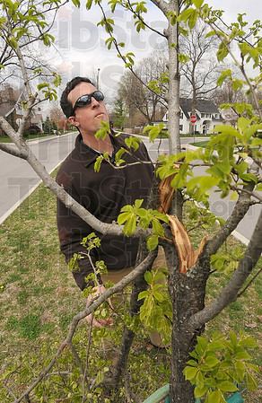 Tribune-Star/Joseph C. Garza<br /> Arbor abuse: City Forester Bill Kincius inspects damage done to trees on Adams Boulevard April 15.