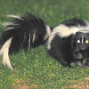 Nocturnal: Just before dark, at the end of dusk and at very first light is the best time, if there is one, to cross paths with a skunk.