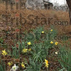 Signs of life: Daffodills bloom in the side yard of an abandoned Parke county home.