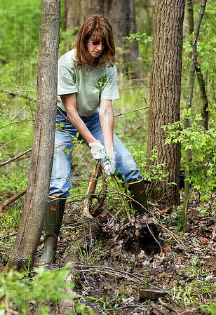 The root of the problem: Denise Sobieski, a biology teacher at Terre Haute North High School, pulls a honeysuckle bush from the woods at Dobb's Park.