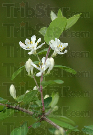 On the hit list: This is a close up of the bloom of the invasive species of the honeysuckle bush.