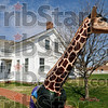 Guard: A giraffe greets visitors to the Ernie Pyle State Historic Site Wednesday afternoon in the town of Dana, Indiana.