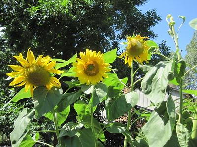 Mia's Garden Sunflowers