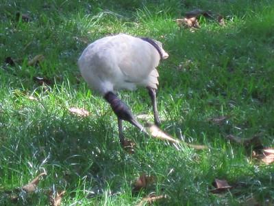 Ibis in Sydney