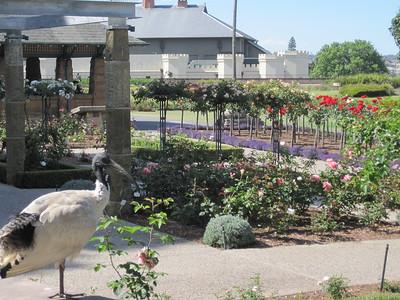 Ibis in Sydney Rose Garden
