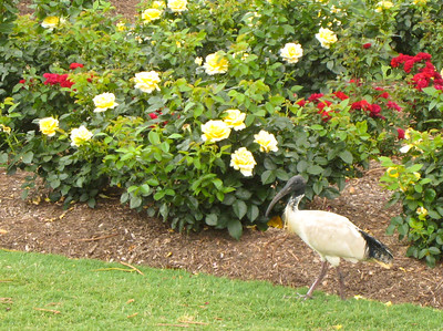 Ibis in the park.  They were all over.