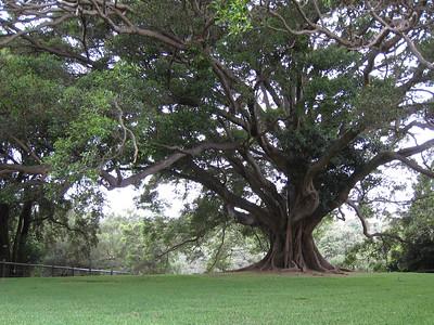 Big tree in the botanical gardens.