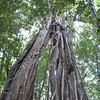 The old man tree.  A big strangler fig.