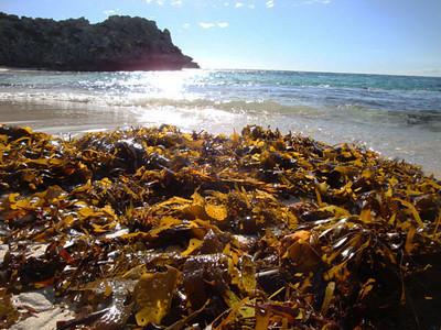 Rottnest Parakeet Bay seaweed