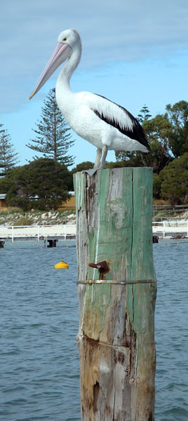 Rottnest has some very interesting wildlife. This pelican greeted my friend Cheryl and I, on our arrival.