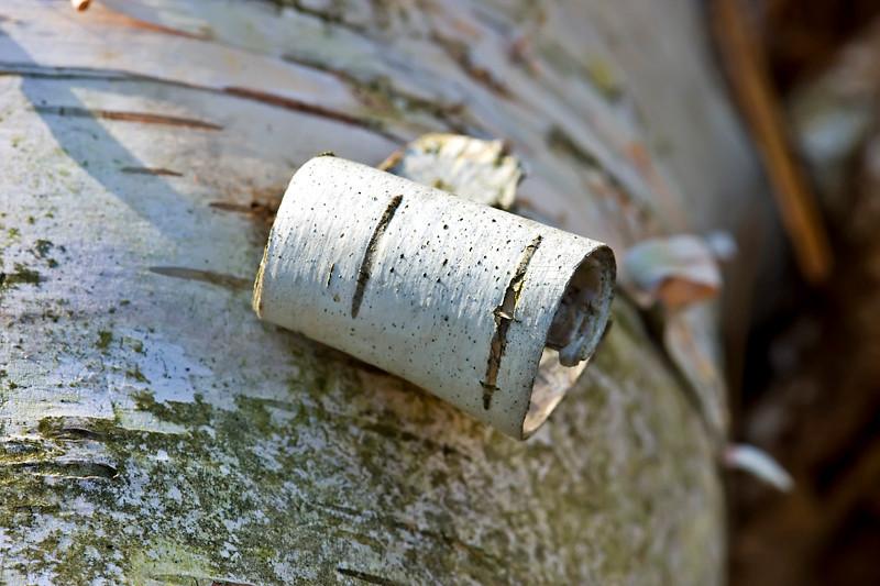 Birch Bark on Fallen Tree