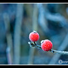 Frosted Berries at Bellamy River Wildlife Sanctuary