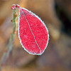 Frosty Leaf at Bellamy River Wildlife Sanctuary