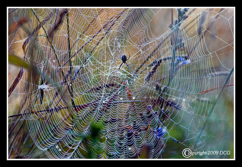 Black-and-Yellow Argiope Spider Web at Bellamy River Wildlife Management Area