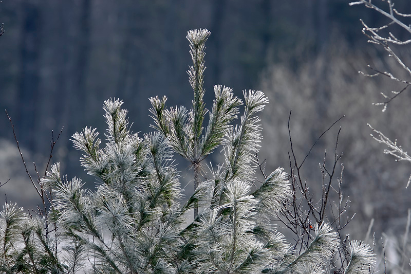 Frost Covered Pine Tree at Bellamy River Wildlife Management Area