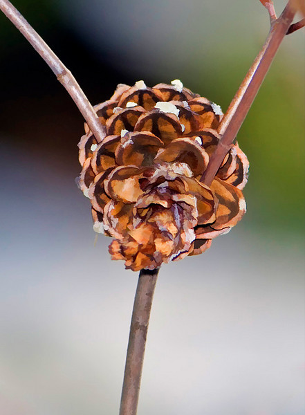 Pine Cone at Bellamy River Wildlife Management Area
