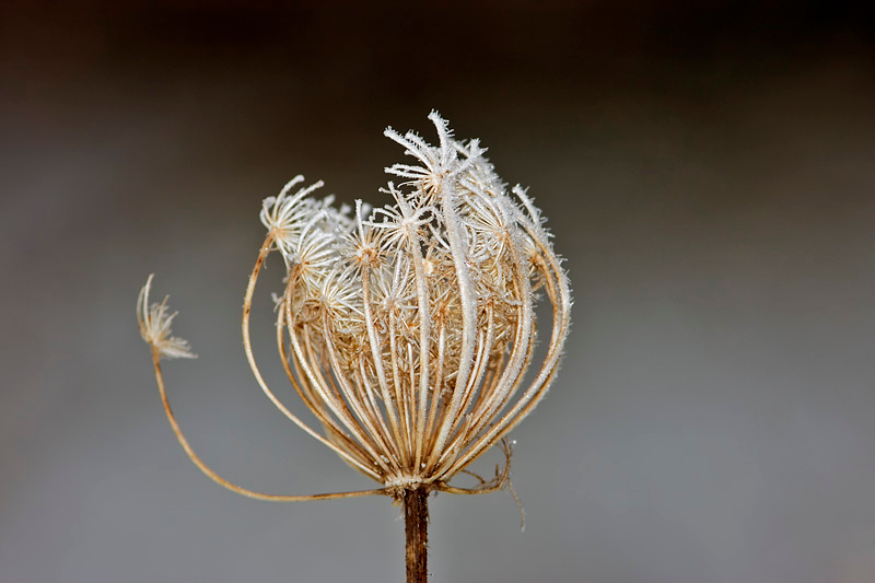 Frost Covered Weed at Bellamy River Wildlife Management Area