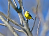 American Goldfinch at Bellamy River Wildlife Management Area