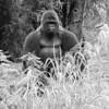 Gorilla-20stk-bw