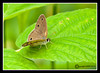 Eyed Brown Butterfly at Bellamy River Wildlife Management Area